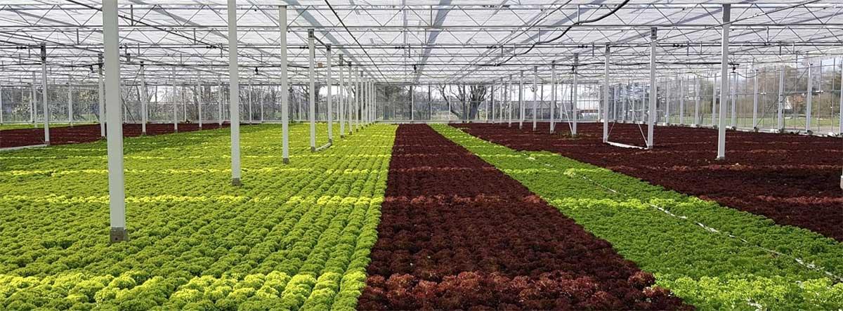 Färsk sallad i växthus